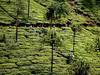 India 2017 199 (megegj)) Tags: gert india teagarden