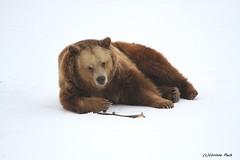 Ours brun (Passion Animaux & Photos) Tags: ours brun brown bear ursus arctos parc animalier saintecroix france