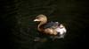 Pied-billed Grebe (Winter Plumage) (ambrknr) Tags: pied billed grebe goose duck fowl bird water waterfowl pacific northwest eugene western oregon lane county willamette valley delta ponds