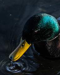 Ripple in Time (jludahl) Tags: duck oregon canon t7i 75300mm water tigard