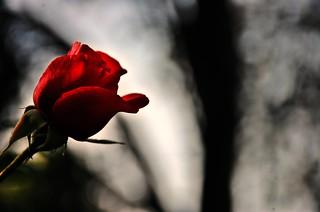 De mis vacaciones les traje una rosa /I brought you a rose