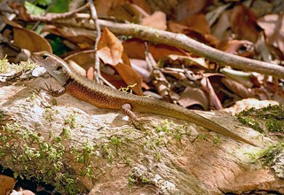 Orange-speckled Forest Skink (Magmellia luteilateralis) - in situ.