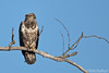 Immature Bald Eagle (Mitch Vanbeekum Photography) Tags: baldeagle american americanbaldeagle young perched perch tree branch bluesky blue nj newjersey hackensackriver mitchvanbeekum mitchvanbeekumcom canon14teleconvertermkiii canoneos1dx canonef500mmf4lisiiusm immature immaturebaldeagle
