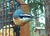 Red-breasted Nuthatch (Capt. Free) Tags: washington pnw pacificnorthwest birds birdphotobooth redbreasted nuthatch