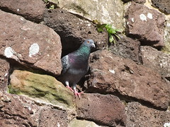 Pigeon in entrance to nesting hole in 'brick' wall (Philip_Goddard) Tags: nature naturalhistory animals vertebrates birds columbidae doves pigeons columba columbalivida commonpigeon domesticpigeon feralpigeon europe unitedkingdom britain british britishisles greatbritain uk england southwestengland devon exeter citywall