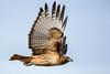 Hawk - Flight (BernieErnieJr) Tags: hawk bird birdsofprey raptor bernie duhamel colorado coloradowildlife wildlife sonya9 sonyfe100400mm frontrange greatphotographers teamsony rockymountains
