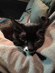 Found black w/white cat in #haysboro now safe & scared at Calgary Animal Services Pls rt & share to find family http://bit.ly/2EMweLB YYC Pet Recovery shared Lisa Madsen's post. My friend found this cat February 9th in the Haysboro area by Elbow Drive. No (yycpetrecovery) Tags: ifttt february 2018 cat blackwhite cas haysboro foundsighted foundsightedcat