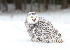 back off! (epicDi) Tags: owls snowyowl canadianraptorconservancy canada iamcanadian ontario vittoriaontario juvenile