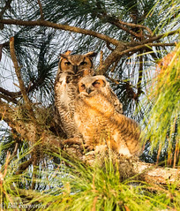 Great Horned Owl Mom & Youngster (billfoxworthy) Tags: owl ghowl longleaf pine tree bird olympus getolympus