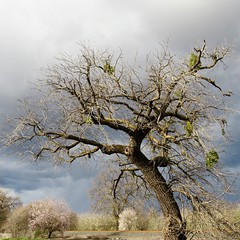 the hanging tree (Black Cat Bazaar) Tags: stormbrewing country roadside tree craggy branches mistletoe stormclouds blossoming trees blackwalnut almond nord chico california ca northerncalifornia afternoon winter perch buzzardperch traintracks