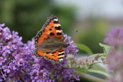 Butterfly (daveandlyn1) Tags: buddlieia f3556d afdt1870mm minoltasony sonydmc macro closeup dslr garden