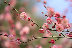 紅梅 (cate♪) Tags: plumblossoms spring