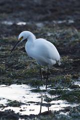 IMG_2911 (armadil) Tags: mavericks beach beaches californiabeaches bird birds egret snowyegret
