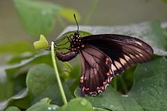 Goldrim butterfly DSC_6537 (blthornburgh) Tags: butterfly goldrim pipevine dutchmanspipe wings pattern