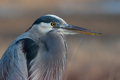 Great Blue Heron (Jesse_in_CT) Tags: greatblueheron nikon200500mm