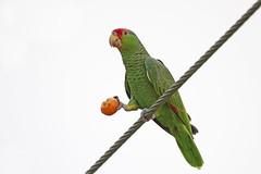 Red-crowned Parrot (Alan Gutsell) Tags: birds bird wildlife nature texasbirds texas southtexasbirds wildlifephoto canon alan redcrowned parrot redcrownedparrot