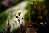 Come into Flower (moaan) Tags: kobe hyogo japan flower flowering flora littleflowers stream light dof bokeh bokehphotography leica mp leicamp summicron50mmf20dr leicasummicron50mmf20dr utata 2018 january 50mm f20 type240