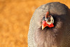 Helmeted Guineafowl (mattbeee) Tags: guineafowl helmeted zoo boroughofcolchester england unitedkingdom gb