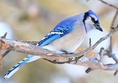 blue jay at Lake Meyer Park IA 854A8658 (lreis_naturalist) Tags: blue jay lake meyer park winneshiek county iowa larry reis