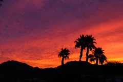Palm Trees Silhouette (http://fineartamerica.com/profiles/robert-bales.ht) Tags: fineart flickr land photouploads sunsetorsunrise arizona foothills sunrise sunset redsky twilight yellow clouds landscape spectacular desertphotography panoramic surreal sublime sonora inspirational path morning haybales silhouette scenic sunrisephotography red sonoradesert robertbales desertecosystem desert nature sky yuma gilamountains dusk dawn scene sunlight tranquil vibrant outdoor black beauty palmtree palm