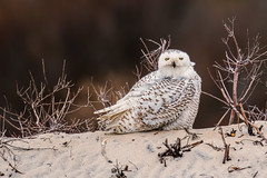 Arctic Beauty (rob.wallace) Tags: assateague island state park maryland raptor snowy owl perched winter 2018