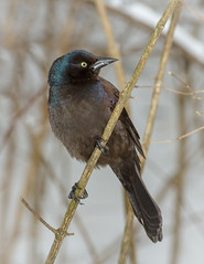 Common Grackle (tresed47) Tags: 2018 201801jan 20180117homebirds birds canon7d chestercounty commongrackle content folder grackle home january pennsylvania peterscamera petersphotos places season takenby us winter