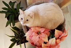 Sole's New Nest (I Flickr 4 JOY) Tags: sole flamepointsiamese cat blueeyes blueeyedcat salmoncolour cattree catincattree squamish poinsettia fauxpointsettia