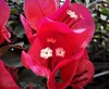 316. BOUGAINVILLEA: Burgundy Beauty (Meili-PP Hua 2) Tags: macro plant plants shrubs shrub mlpphflora flower flowers flowerheads bright vivid leaf pistils stamens bracts florets crimson red pink closeup flowerspike photographypassionsxyz
