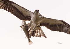 Osprey headed back to the nest with a fish. (Rickfans76) Tags: osprey raptors animals birds honeymoonislandstatepark rickfanslerphotography nikond500 fish wildlife nature wildlifephotography