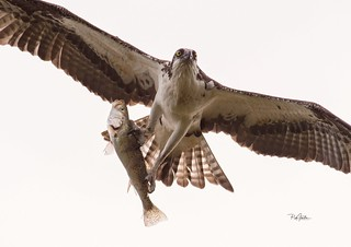 Osprey headed back to the nest with a fish.