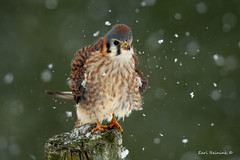 Enough of this cr___! (Earl Reinink) Tags: photography photograph earl reinink earlreinink ontario bird animal falcon predator kestrel americankestrel winter snow cold hidaoauaia