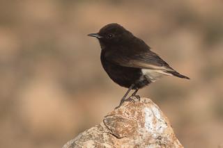 Black Wheatear  - male