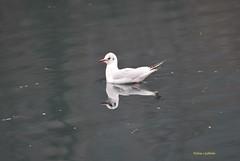 ... FEBBRAIO ... (EXPLORE) (Fulvia e Gabriele : ) ....) Tags: natura animali trezzo adda gabbiano fiume