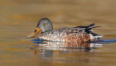 Northern Shoveler non-breeding male in eclipse plumage (mandokid1) Tags: canon 1dx canon500f4 birds duck waterfowl