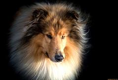 Golden Dog (Emil de Jong - Kijklens) Tags: goldenhour goudenuur doghond collie portrtet portrait color goud belichting dog pet explore