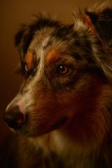 Portrait of Canine (flashfix) Tags: january292018 2018inphotos ottawa ontario canada nikond7100 40mm nikon flashfix flashfixphotography portrait warm naturallighting dog canine animal pet austrailanshepherd triaustrailanshepherd bluemerle tricolour sock heterochromia