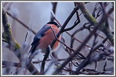 Bouvreuil pivoine 180130-02-P (paul.vetter) Tags: oiseau ornithologie ornithology faune animal bird bouvreuilpivoine pyrrhulapyrrhula eurasianbullfinch camachuelocomún domfafe gimpel