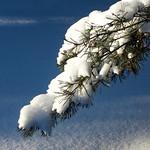 Snowy Pine Branch - Branche de pin enneigée thumbnail