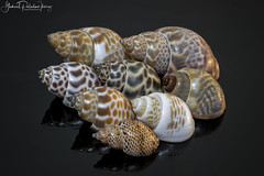 Babylon shells (Gabriel Paladino Photography) Tags: babylonia species ambulacrum borneensis japonica papillaris spirata semipicta shell seashell conch concha caracol snail marine marino animal fauna molusco mollusk genus seasnails gastropod mollusks babyloniidae scientific classification animalia mollusca gastropoda caenogastropoda hypsogastropoda neogastropoda muricoidea venus laowa 60mm f28 2x ultramacro