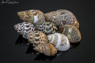 Babylon shells