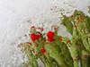 Unter dem Schnee (michaelmueller410) Tags: lichen snow blooming blühende flechten schnee ice eis green rot trompentenflechte cladonia cup melting schmelzender schmelzendes melt