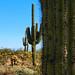 06/52 - Three Saguaru Cacti