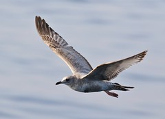 Mew Gull (tombenson76) Tags: mewgull laruscanus nearshorepacificocean losangelescounty