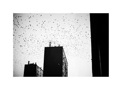 33. Another one with Crows (kotmariusz) Tags: buildings birds sky crows monochrome poland polska wrony ptaki monochrom bw analog 35mm filmphotography olympusom40 ilfordxp2 iso400
