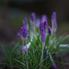spring is near! (vohiwa) Tags: blume flower spring rain plants nature voigtländer voigtlander voiglandernokton40mmf12 ilce7m2