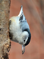 My First Upside Down 'Ninja' Nuthatch (DaPuglet) Tags: bird birds animal animals nuthatch whitebreastednuthatch nature wildlife ontario upsidedown avian nuthatches wildbirds feathers feather beak tree coth5 specanimal
