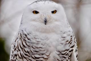 Female Snowy Owl - Bubo scandiacus - Stillman Nature Center - South Barrington IL