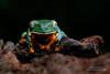 Splendid-leaf Frog (www.NeotropicPhotoTours.com) Tags: costarica juancarlosvindas essenceofcostarica flyingjewelsofecuador naturephotography tropicalphotography birdphotography wildlifephotography phototours nature wildlife splendidleaffrog amphibian cruziohylacalcalifer neotropicphototours