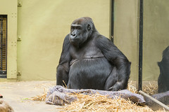 2018-02-20-11h34m46.BL7R0050 (A.J. Haverkamp) Tags: binti canonef100400mmf4556lisiiusmlens amsterdam noordholland netherlands zoo dierentuin httpwwwartisnl artis thenetherlands gorilla pobapeldoornthenetherlands dob19111992 nl