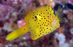 017_adj_DSC_8315 (edpdiver) Tags: scuba diving coral reef indonesia rajaampat misool